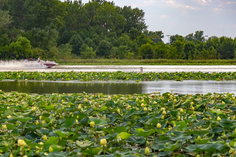 Lotus plants on Carter Lake Iowa royalty free stock photography