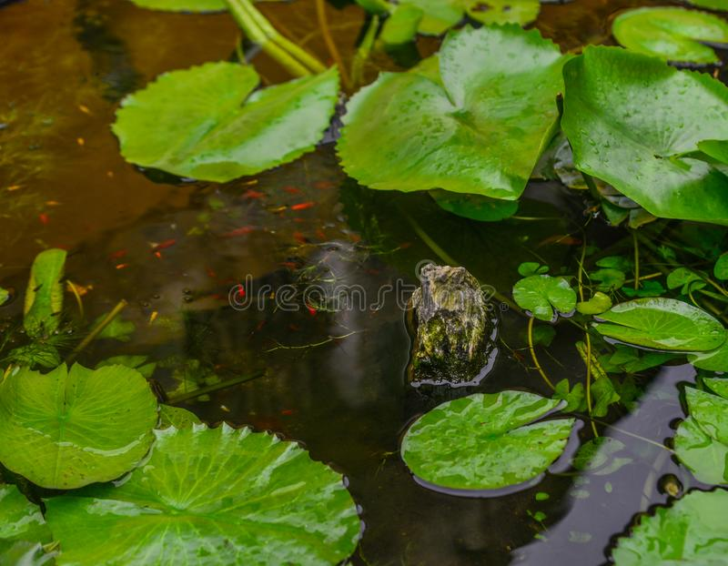 Waterlily plants with golden fish royalty free stock photography