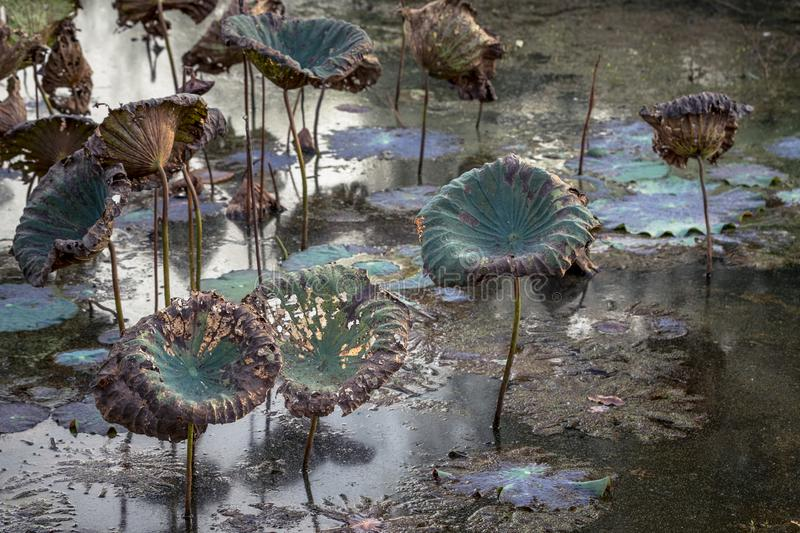Waterlily pond, dry and dead water lilies, dead lotus flower, beautiful colored background with water lily in the pond. Beautiful nympheas royalty free stock photography
