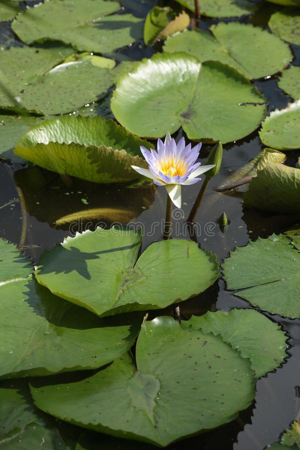 WATERLILY IN A POND royalty free stock photo