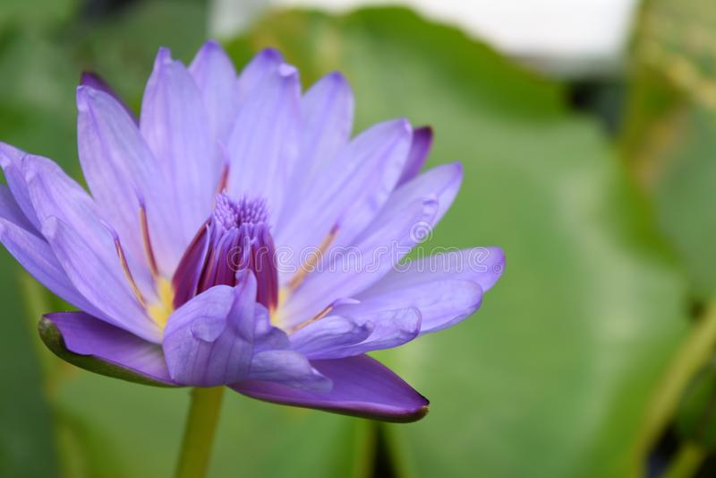 Waterlily porpora blu vicino su fotografia stock libera da diritti