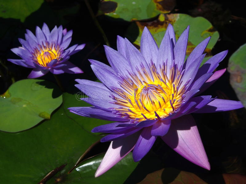Waterlily in purple and yellow colors stock image