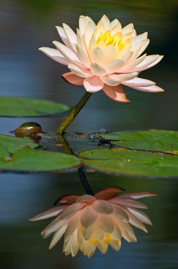 Waterlily reflexion royaltyfria bilder