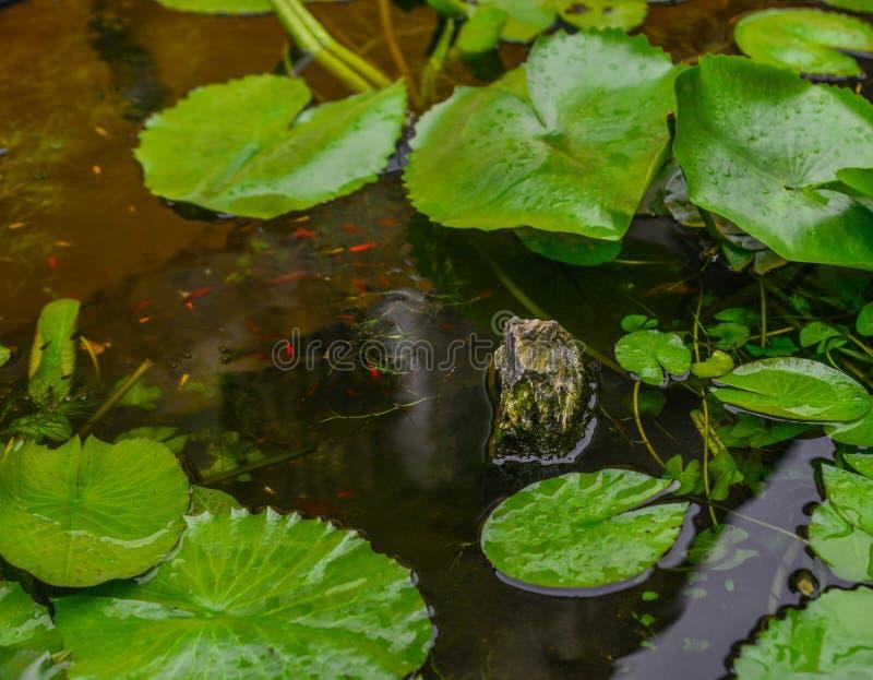 Waterlily rośliny z złotą rybą fotografia royalty free