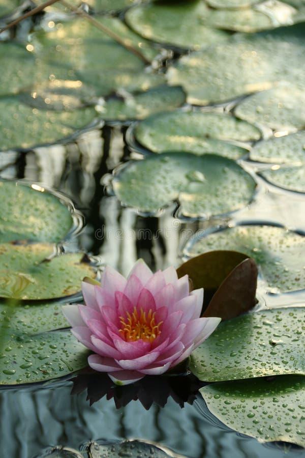 Waterlily sur le petit étang pendant le coucher du soleil images libres de droits
