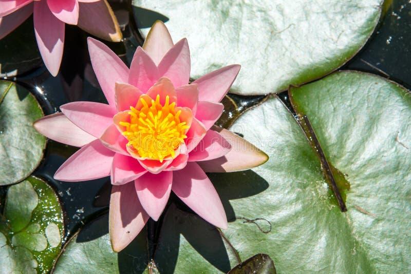 Waterlily in un piccolo stagno immagine stock