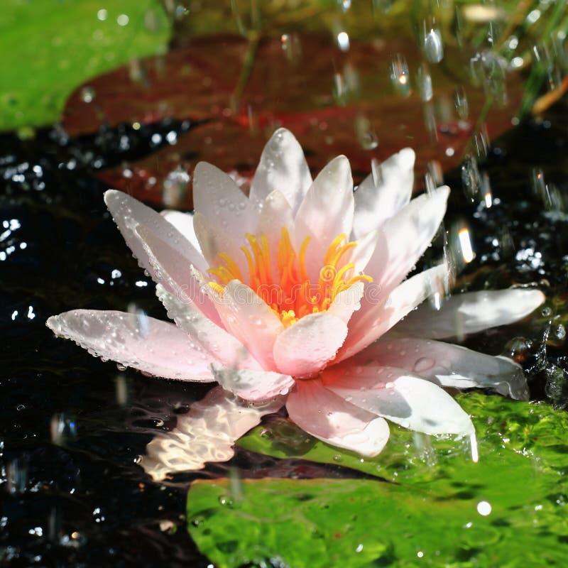 Waterlily und Wasser-Tropfen stockbild