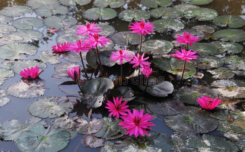 Waterlily växter på dammet royaltyfria bilder