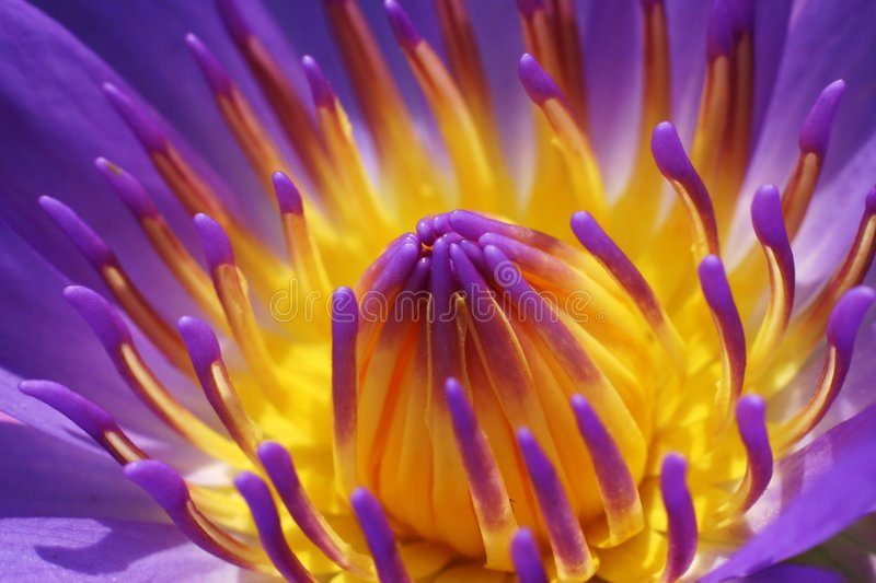 Waterlily viola fotografie stock