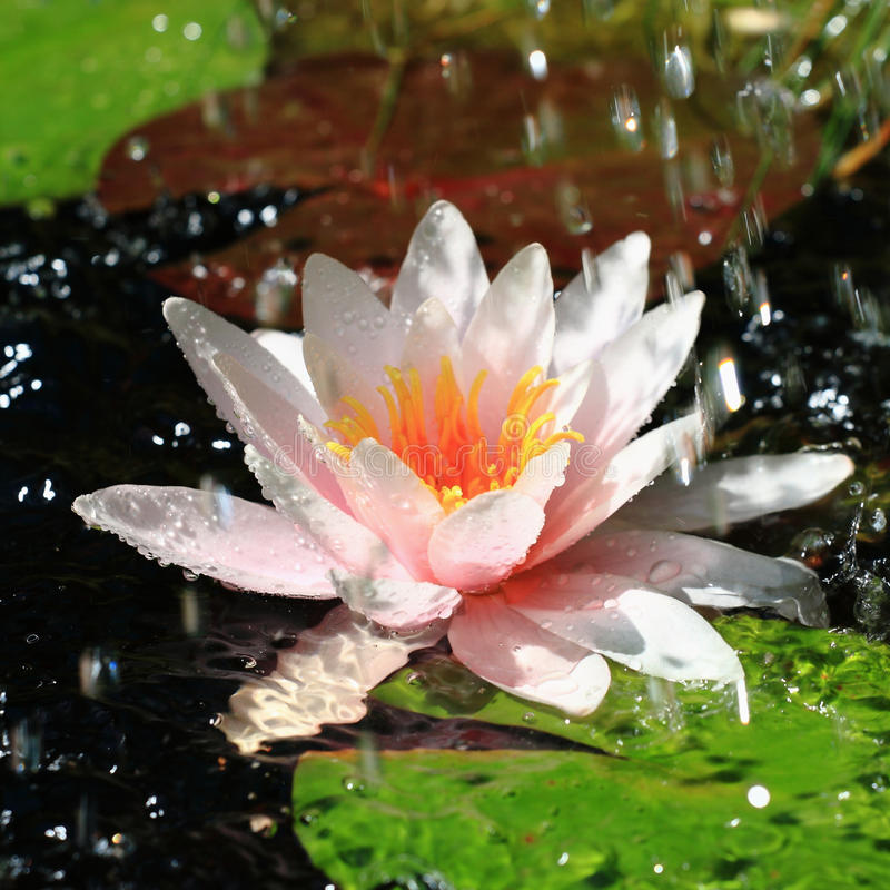 Download Waterlily and Water Drops stock image. Image of drops - 15140821
