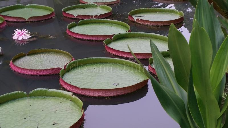 Waterlily-waterlilies Riese lilypads lizenzfreie stockfotos