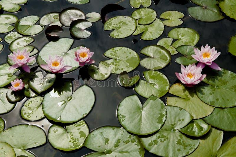 Waterlilys стоковое фото
