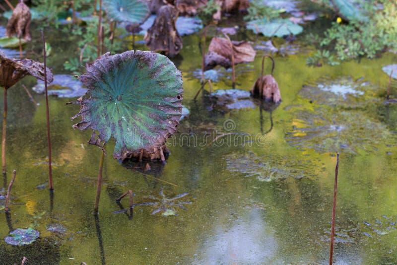 Waterlilyvijver, droge en dode waterlelies, dode lotusbloembloem, mooie gekleurde achtergrond met waterlelie in de vijver stock afbeelding
