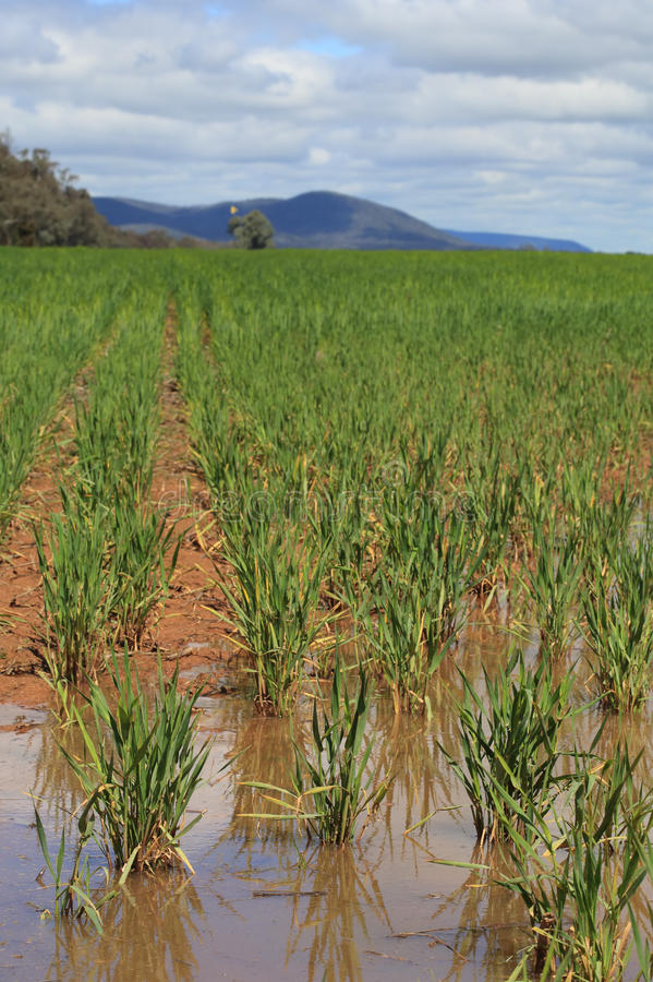 Waterlogged wheat crops after partial flooding royalty free stock photo
