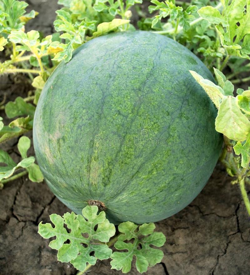 Watermeloen in de tuin stock afbeeldingen
