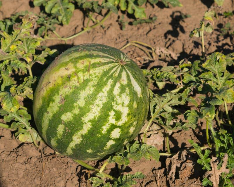 Watermeloen het riping op grond bij gebiedsclose-up, selectieve nadruk, ondiepe DOF stock foto