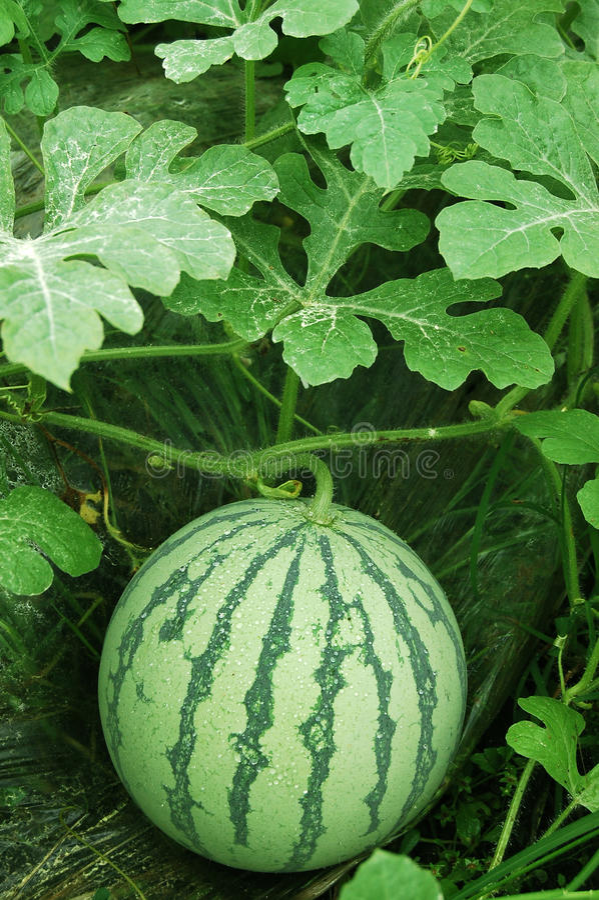Watermeloen op een gebied stock fotografie