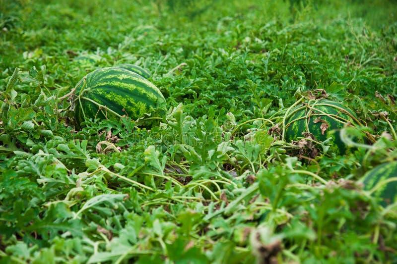 Watermeloen op het gebied royalty-vrije stock afbeeldingen