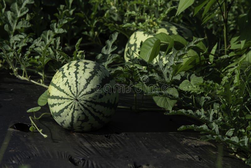 Watermeloen op het gebied royalty-vrije stock afbeelding