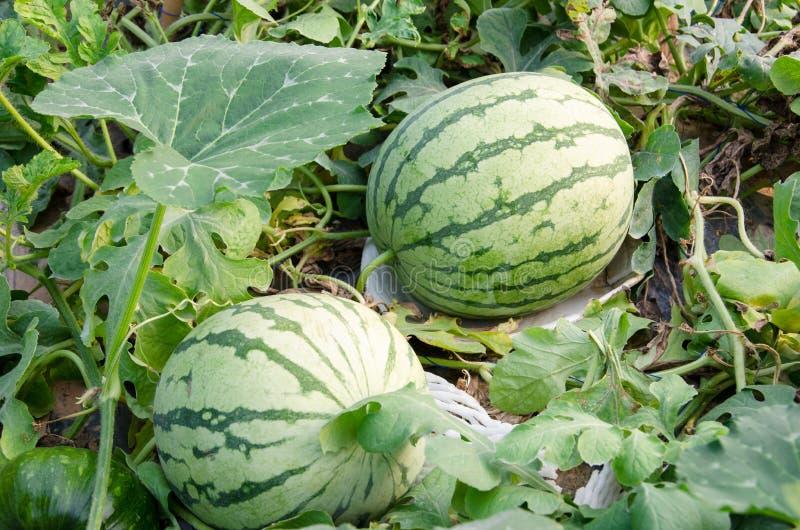 Watermeloengewas royalty-vrije stock afbeelding