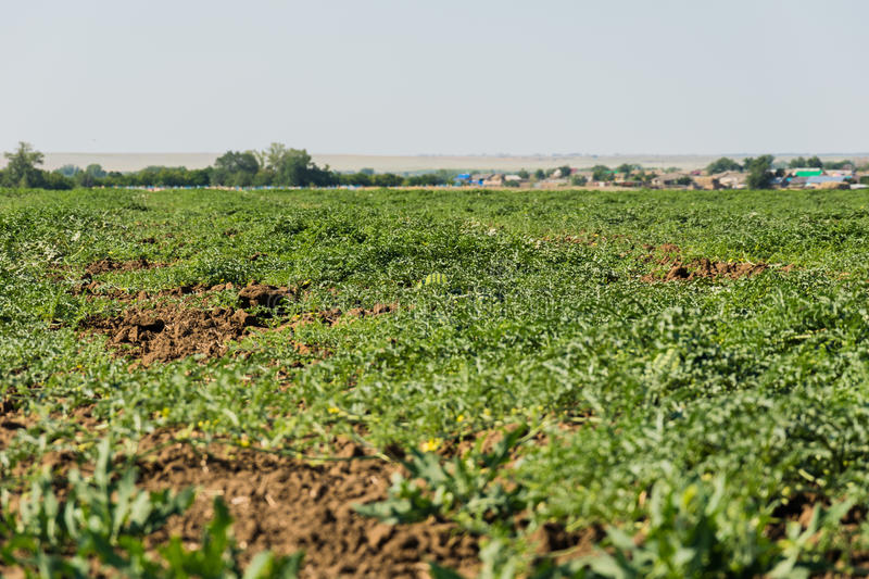Watermelon field under the sun royalty free stock images