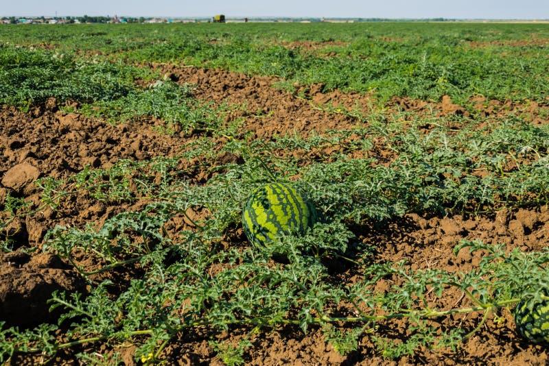 Watermelon field under the sun stock photo