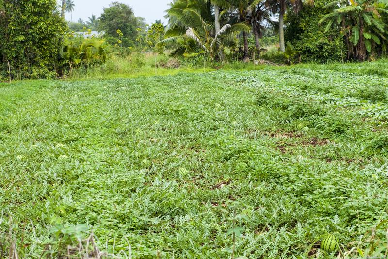 Watermelon on plantation in Rarotonga, Cook Islands royalty free stock image
