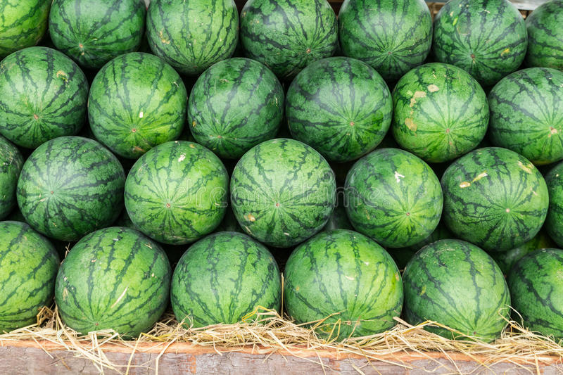 Watermelon. Set in a row on straw stock image
