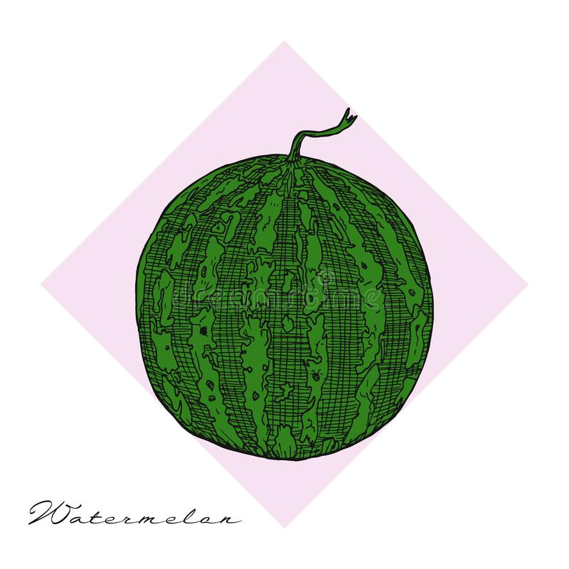 Watermelon and slice vector drawing. Isolated hand drawn berry on white background. royalty free illustration