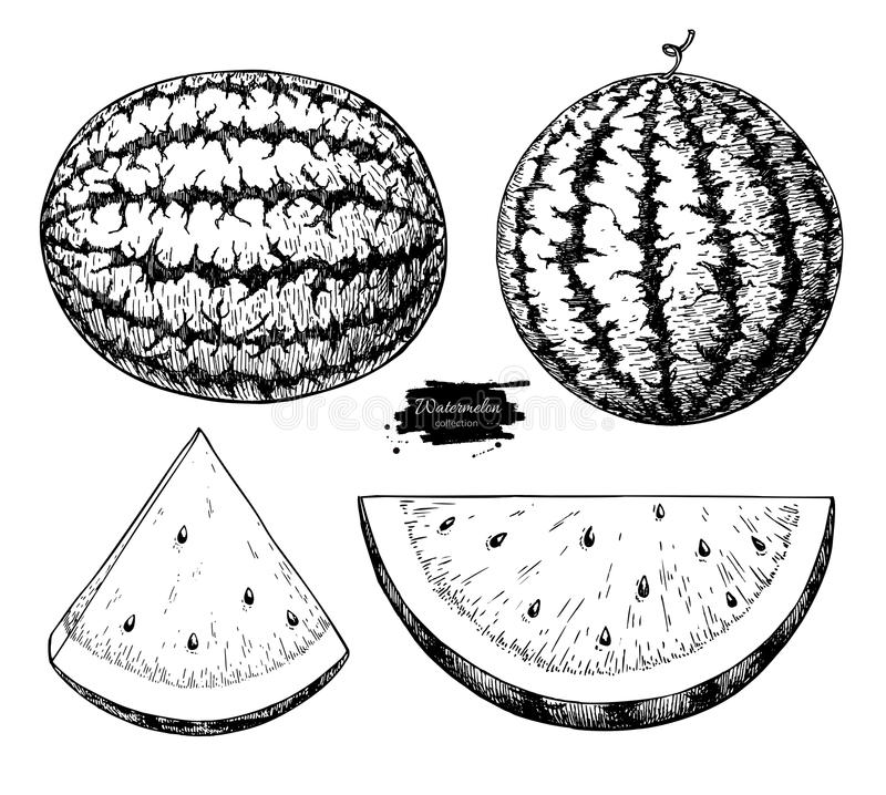 Watermelon and slice vector drawing set. Isolated hand drawn berry on white background. Summer fruit engraved style stock illustration