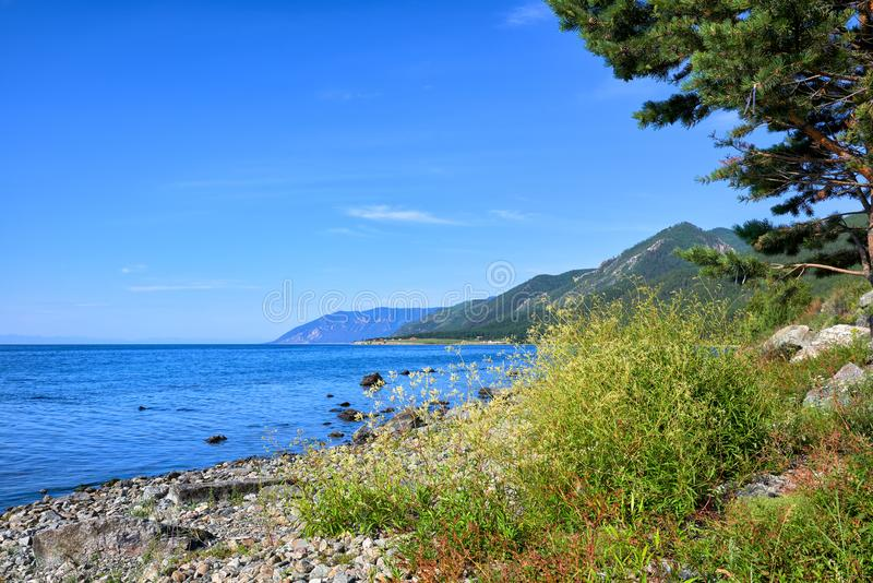 Waterpeper Persicaria hydropiper van Meer Baikal stock fotografie