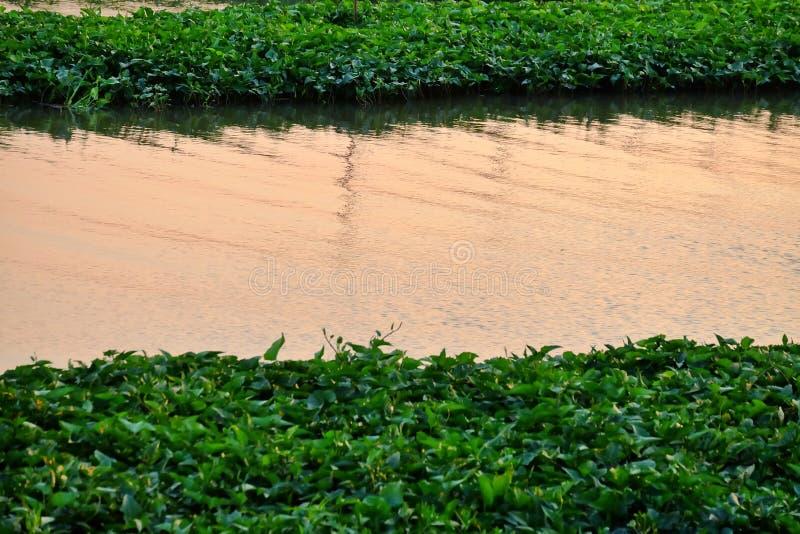 Waterplant que cresce na superfície do rio com opinião da água no tempo do crepúsculo fotografia de stock