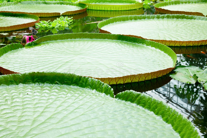 Download Waterplatter stock photo. Image of bloom, circular, exotic - 28174582