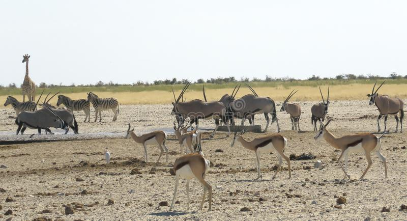 Waterpoel in Etosha stock fotografie