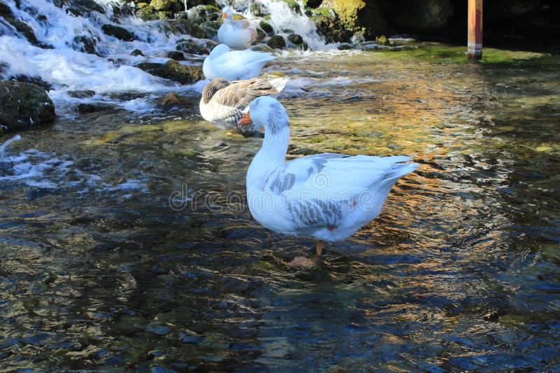 Waters doesn`t affect ducks who want to sleeping royalty free stock images