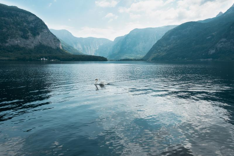 Waterscape of swan swimming in lake with lots of reflection in water and big mountains in background, Salzburg, Austria stock image