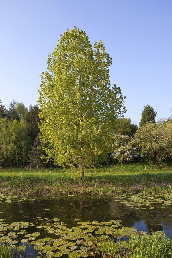 Waterside Poplar Stock Image