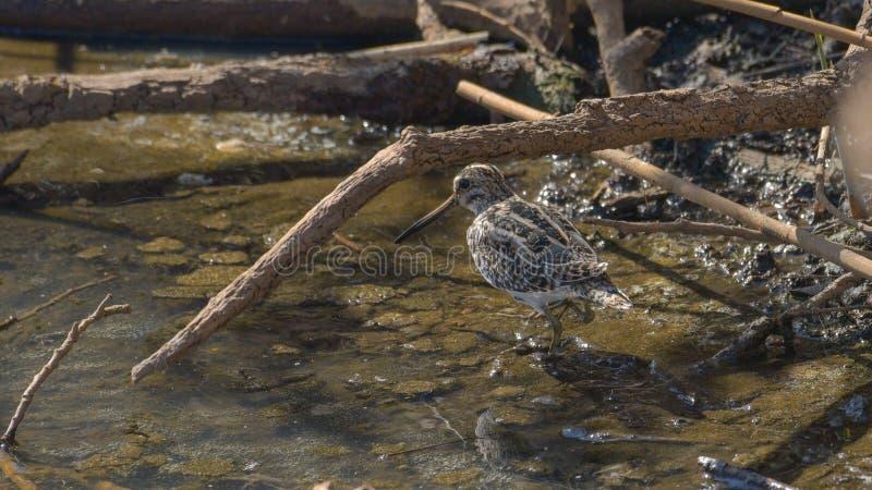Watersnip die in het zand van het moeras loopt stock fotografie