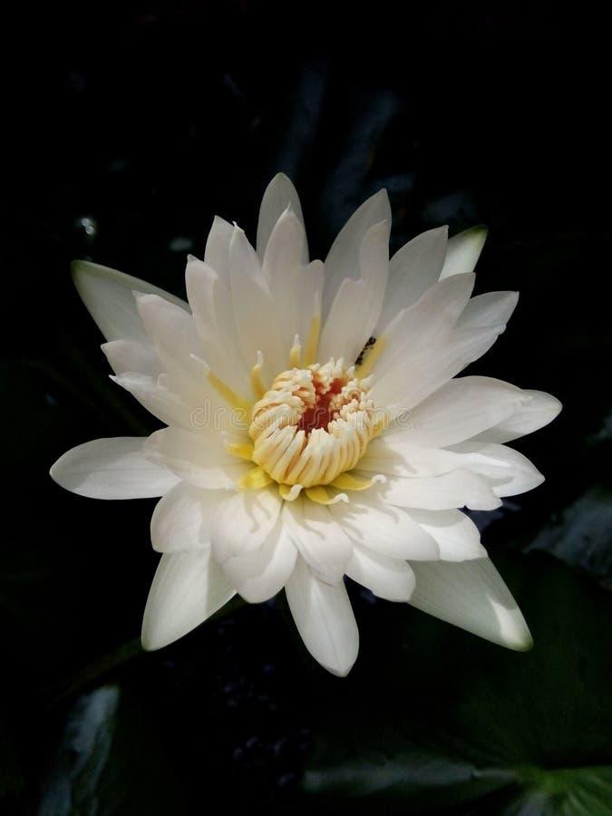 watertree de lotus photographie stock libre de droits