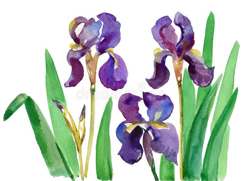 Waterverf bloemendruk, Irisbloemen, kruisen Bloemen van iris Waterverfhand getrokken botanische illustratie van bloemen stock illustratie