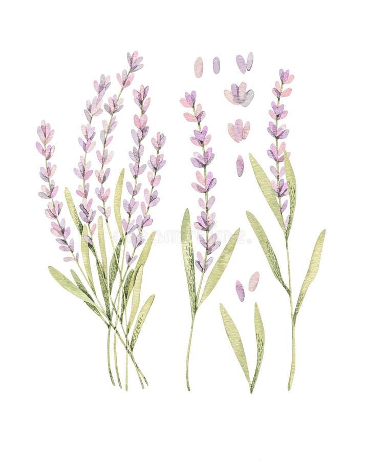 Waterverf botanische illustraties van lavendel Bloesem van de Provence Perfectioneer voor huwelijksuitnodigingen, kaarten, drukke stock illustratie