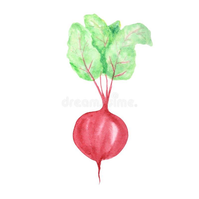 Waterverf geschilderde groenten De hand getrokken verse die elementen van het de Bietenontwerp van het veganistvoedsel op witte a vector illustratie