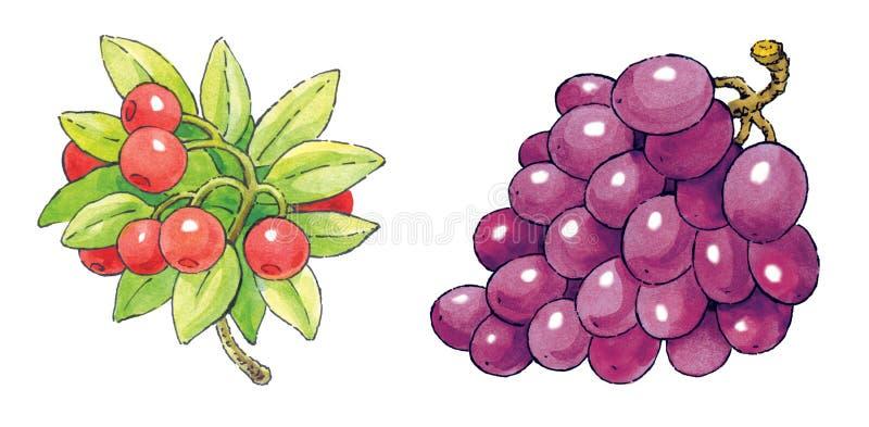 Waterverf het schilderen reeks van fruit: Amerikaanse veenbessen en druiven royalty-vrije illustratie