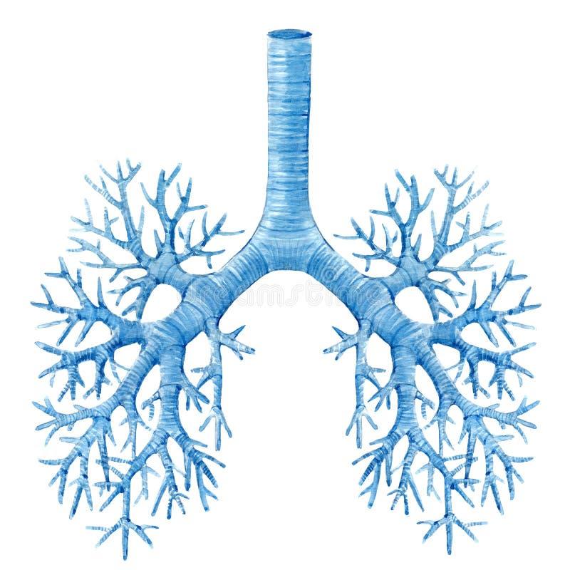 Waterverf menselijke longen royalty-vrije illustratie