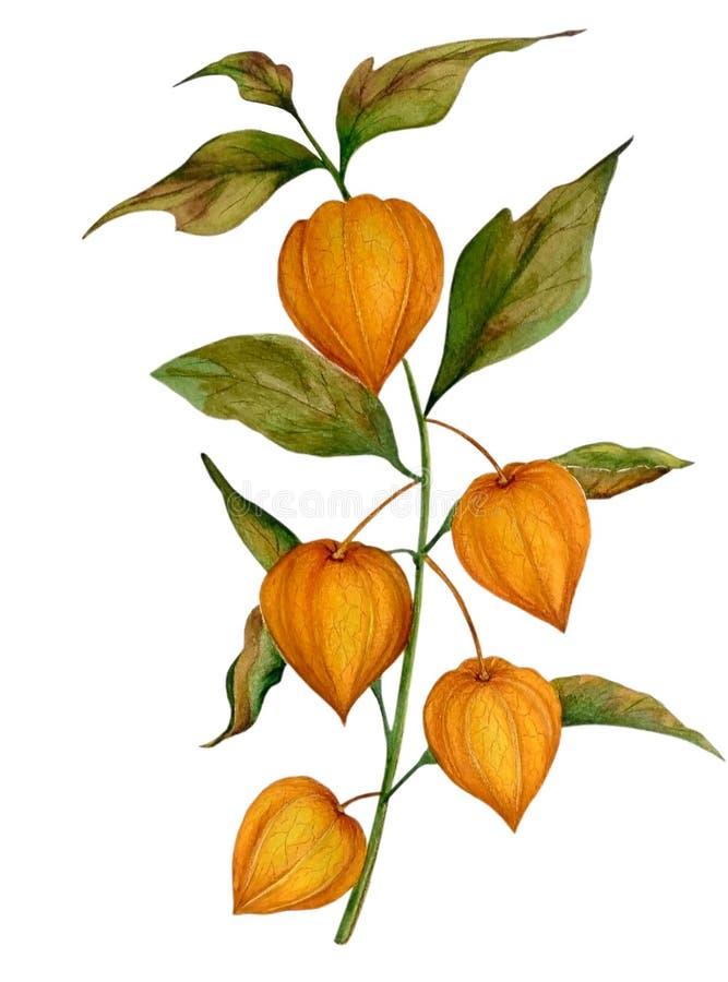Waterverf met oranje physalis stock illustratie