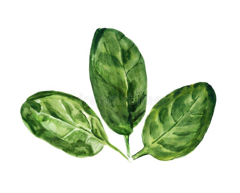 Waterverfbladeren van spinazie stock illustratie