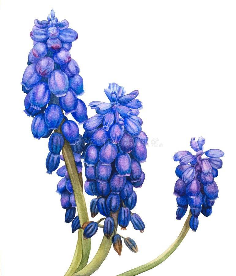 Waterverfbloemen Muscari royalty-vrije illustratie
