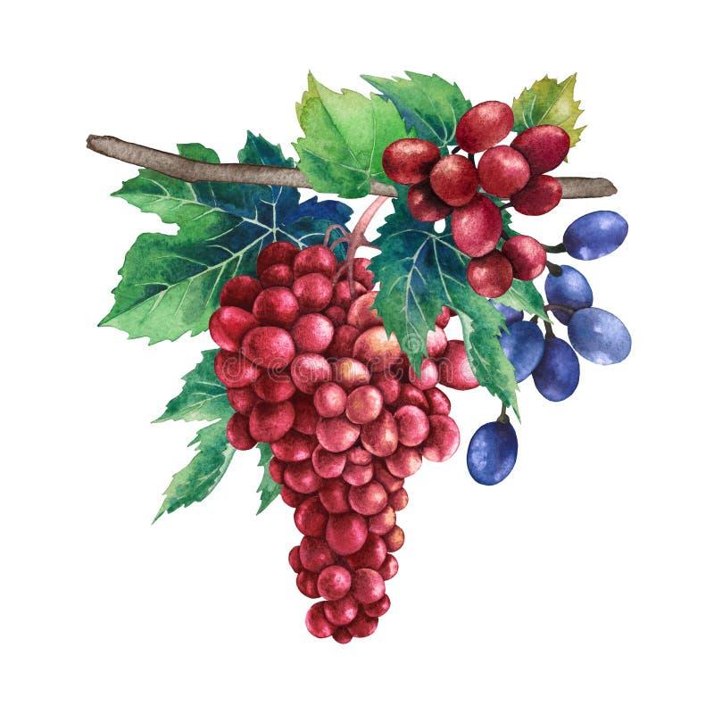 Waterverfbossen van rode en blauwe druivendruiven die op de tak hangen stock fotografie