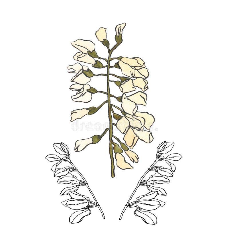 Waterverfillustratie Akacia met lichte bloemen en tak royalty-vrije illustratie