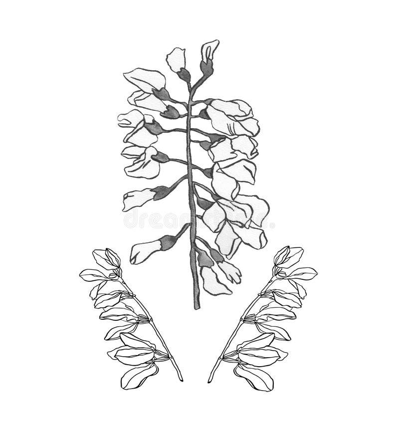 Waterverfillustratie Akacia met zwarte lichte bloemen stock illustratie